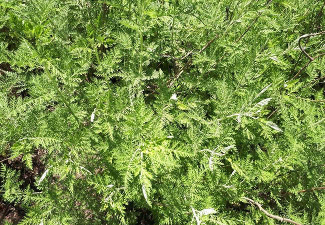 Artemisia afra / umhlonyane